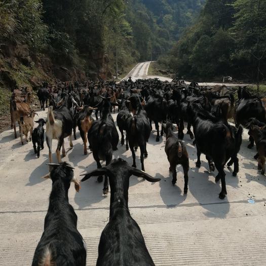 黑山羊  山羊出售:有小耳,馬頭,中耳。都是農戶散養羊。