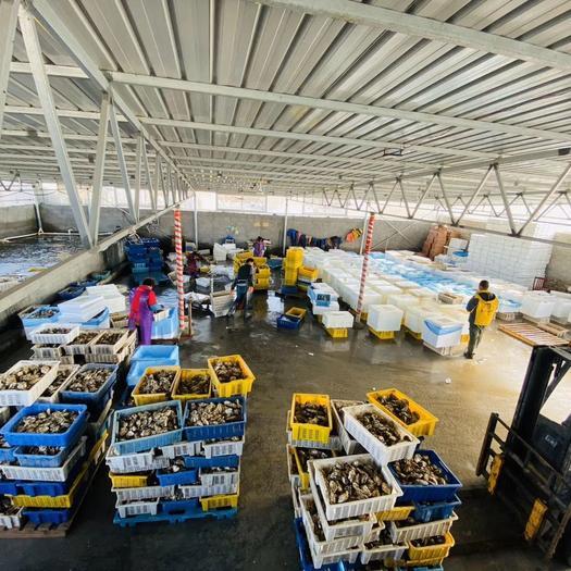 奧林匹亞牡蠣  【超級凈化,硬規格】精品乳山生蠔,包質量包售后。全國一手