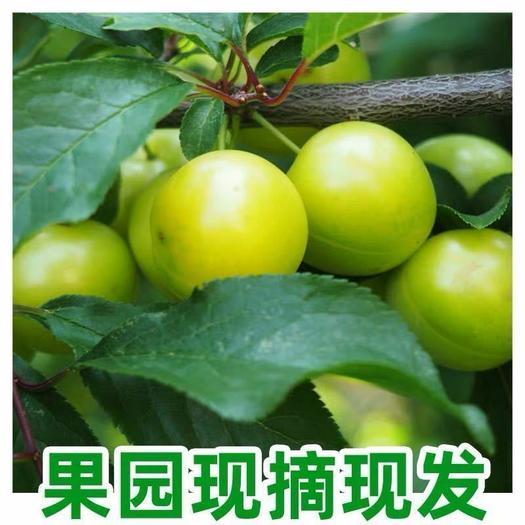 【顺丰包邮】现摘三月李子新鲜水果当季应季5斤装孕妇水