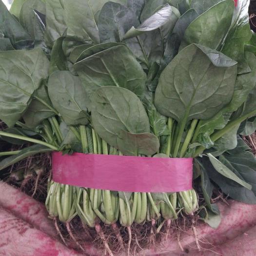 大叶菠菜  本地菠菜叶大,颜色绿,耐运输,货源充足