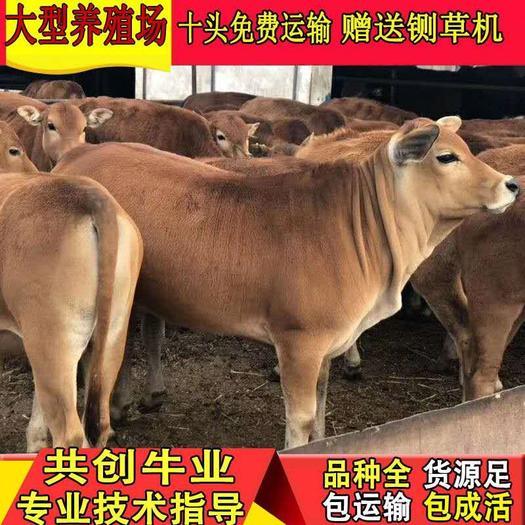 改良黄牛 买牛苗的联系我 厂家直营 免费提供技术指导