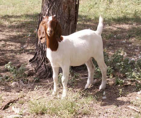 波尔山羊,高产波尔山羊生长快繁殖能力好适应性强。