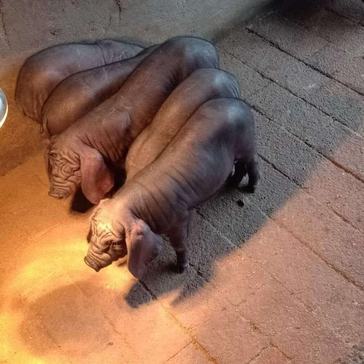 二元母猪 太湖母猪 原种 二代  产仔多 生长速度快 耐饲养