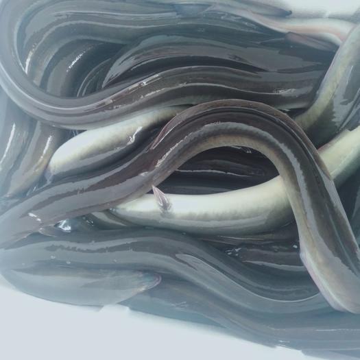 黑鳗  本地一手活黑耳鳗 。白鳝。真空打包。。肉脆味美