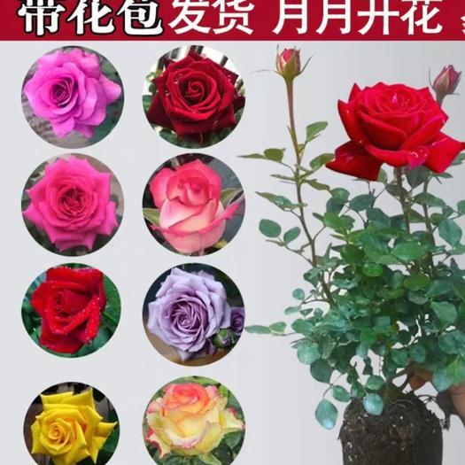 大花月季  盆栽月季花,玫瑰花,带花苞,带盆发货,基地直销