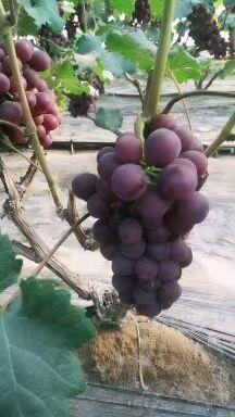 红无核葡萄