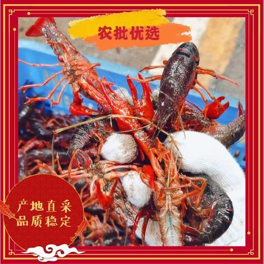 小龙虾  优质稻田虾  2-4小青  4-6中青 底价发货