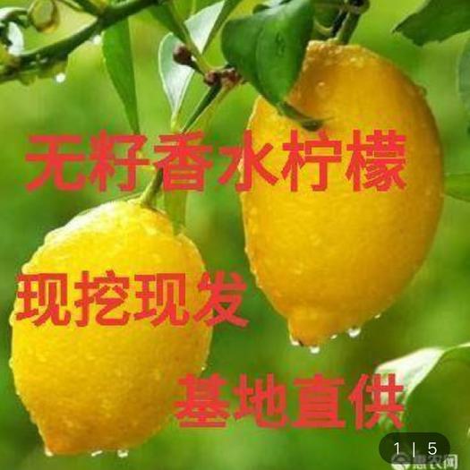 香水柠檬苗  四季香水柠檬树苗 盆栽地栽 适合南北方栽种果树苗