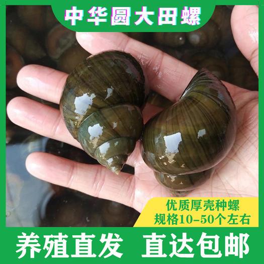 田螺 优质种螺 厚壳少青苔 规格:大、中、小可选 直达包邮