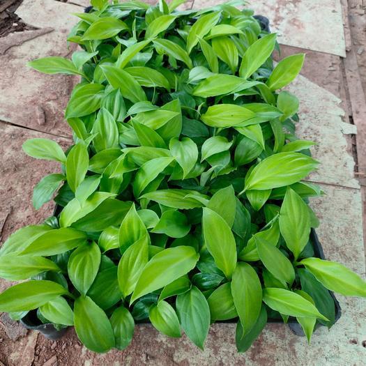 绿巨人盆栽  绿巨人种苗万年青室内观叶盆栽净化空气吸甲醛