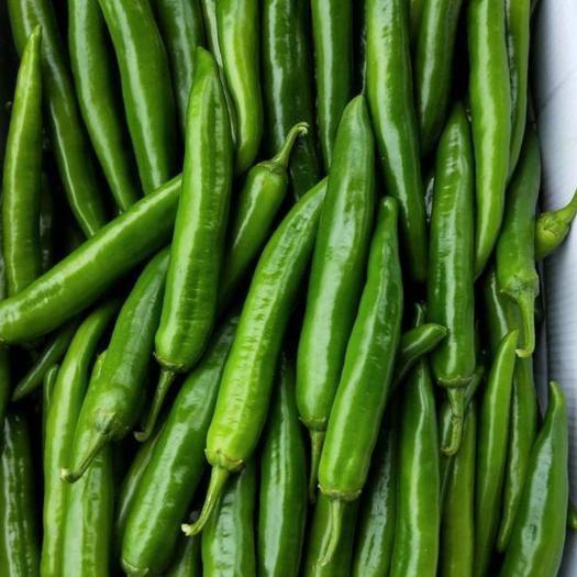 尖椒  长丰99辣椒产地直供大量现货需要的联系
