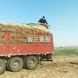 留兰香 发上海万香国际江西上饶实验田500亩