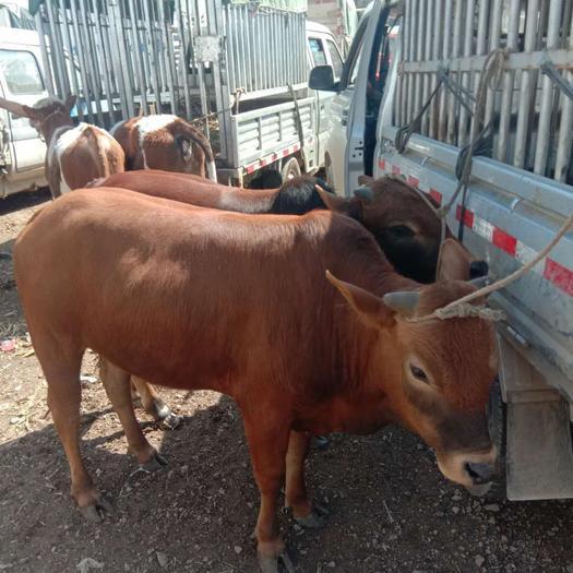 放牧本地土黄牛 品种齐全 抗病能力强,一手货源充足