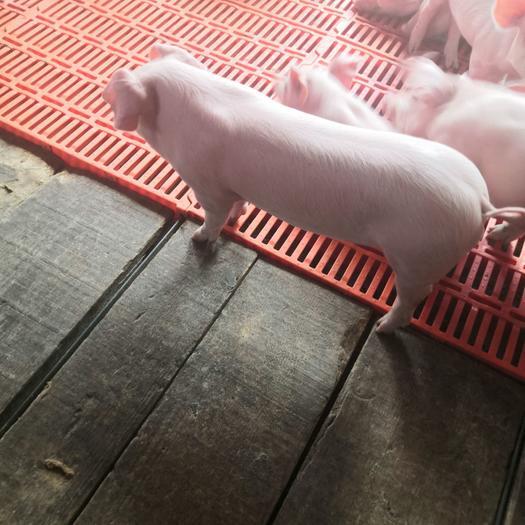 三元仔猪  优质育肥猪苗,大量仔猪供应,服务周到欢迎购买