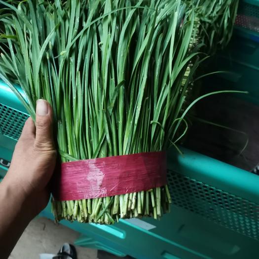 大叶韭菜  宽叶浓绿韭菜大量上市