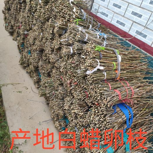 白蜡种子  2020年新货优质金蝉白蜡卵枝 专业批发金蝉孵化条 常年大量