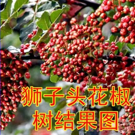 红花椒苗  正宗狮子头花椒苗   产量高 易管理  香味扑鼻