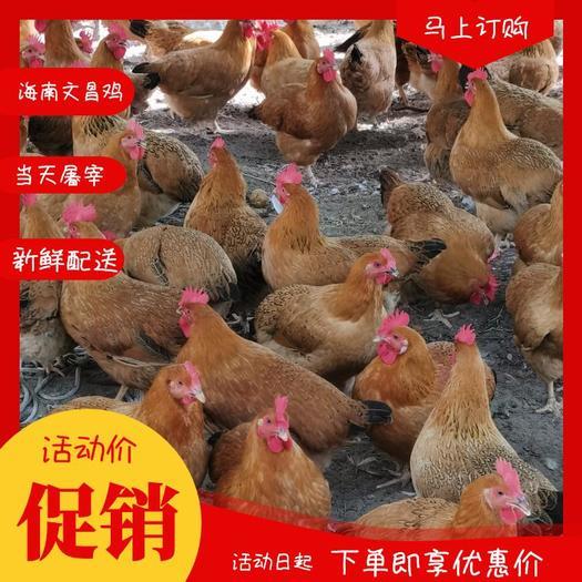 海南文昌鸡  海南-正宗文昌鸡活体现杀鲜品养殖业产地直供