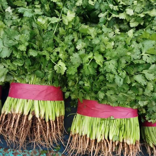 香菜  大量供应优质香菜   货源充足  质量保证