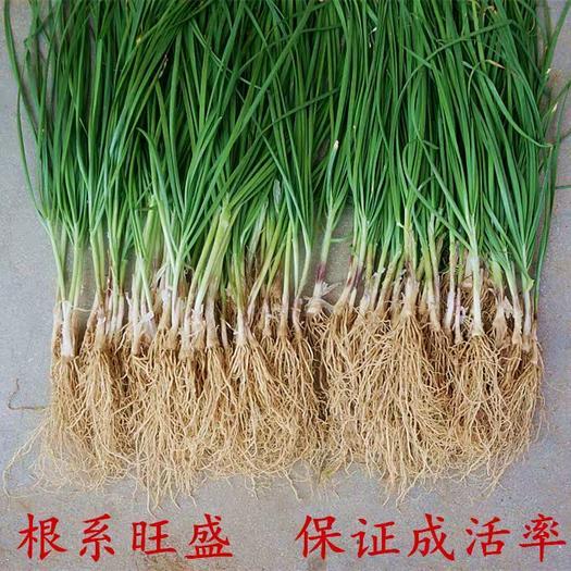 汉中韭王  高产韭菜苗 独根红韭菜苗 大面积农田种植 大棚 盆栽直供