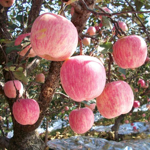 山东新鲜红富士苹果。果园采摘。农户直销。口感好。价格便宜。