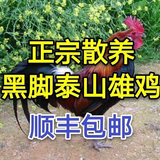 土鸡  黑脚大公鸡正宗散养走地鸡公鸡新鲜鸡肉整只活鸡宰杀