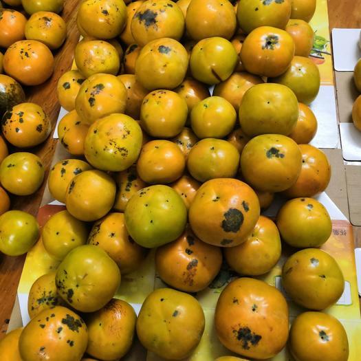 柿子  广东太秋(大秋)甜柿次果