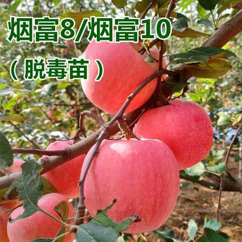 烟富10苹果苗  烟富8号10号苹果苗,市场抢手的苹果苗。送生根粉和复合肥。