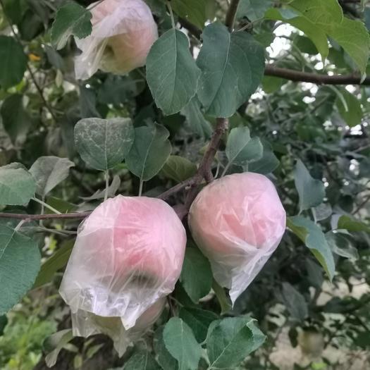 大沙河红富士苹果丑苹果16-18个/箱10斤黄肉脆甜