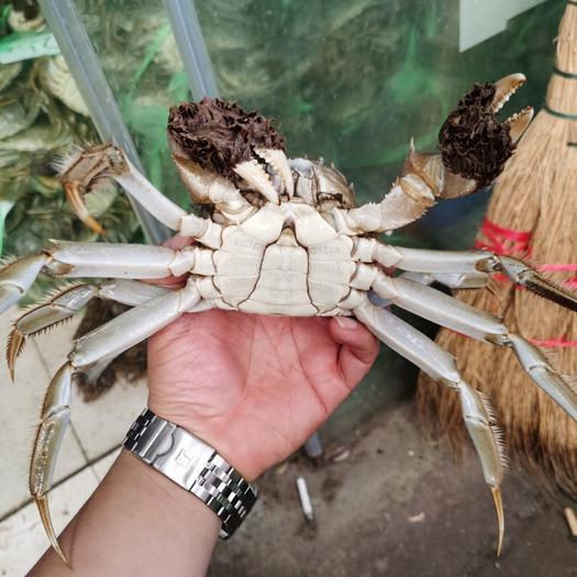 大闸蟹  优质母蟹公蟹 底价出售 有肉 有黄  不苦
