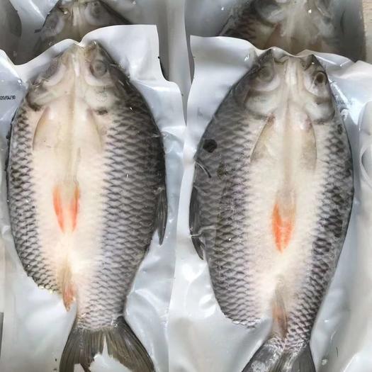 苏丹鱼  忘不了鱼