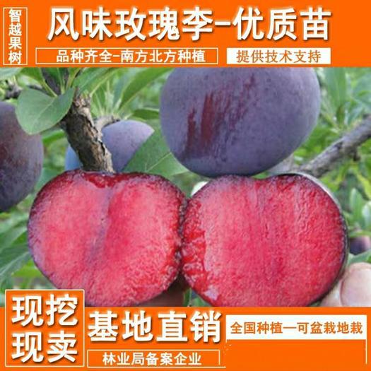 风味玫瑰李子苗  风味独特,甜度高,果肉颜色红润,基地直供,品质保证