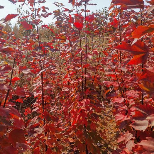美国红枫苗  美国红枫红冠树苗,红冠高度苗,红枫壮苗,红冠红枫苗,枫树苗圃