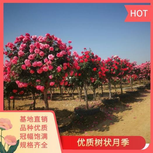 树状月季  南阳基地1——8公分粗  专业十年种植基地 月季