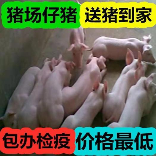 三元仔猪  常年供应优质育肥仔猪 猪崽 猪苗 母猪等 猪场仔猪 防疫到