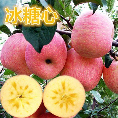 冰糖心苹果苗红富士苹果苗 鲁丽苹果苗 南方北方种植当年结果