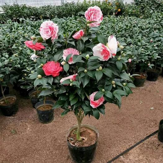茶花盆栽带花苞四季树苗山茶花苗室内植物好养五色赤丹浓香型花卉