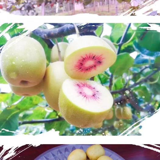 红心猕猴桃苗,东红,金艳,徐香,翠香,软枣,提供技术支持