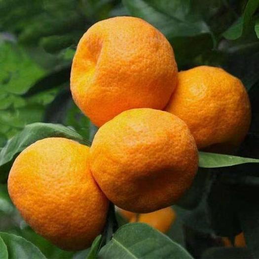 椪柑  碰柑产地大量上市中,口感好水份足,自家果园种植300多亩