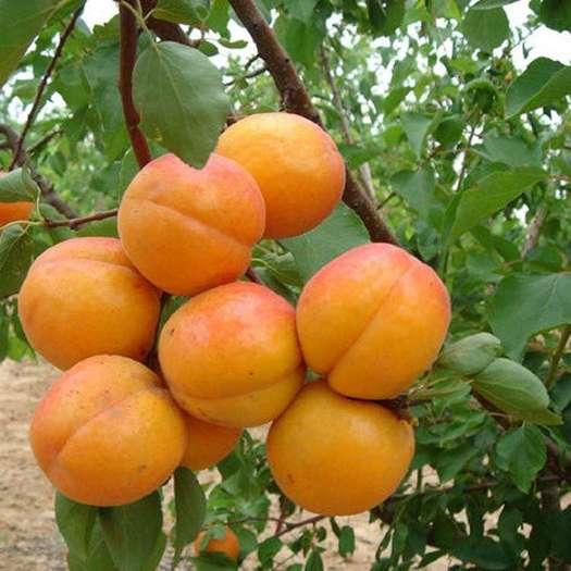 凯特杏苗  沙金红杏 巨蜜王杏 荷兰香蜜杏 嫁接苗 当年结果 现挖现发
