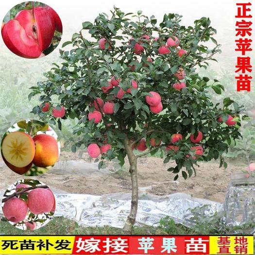嗄啦苹果树苗  嘎啦苹果树苗优质嫁接苗保证品种全国保湿发货适合南北方种植