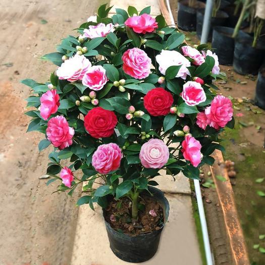 茶花盆栽 五色赤丹 香妃茶花 带苞发货 浓香型  保湿发货
