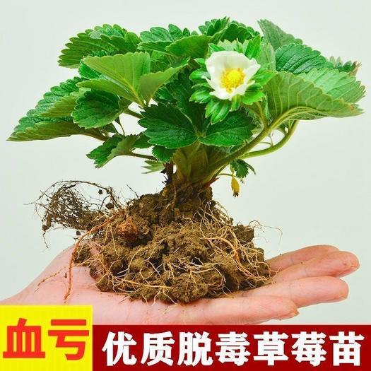 红颜草莓苗基地一手货源章姬奶油草莓成活率高脱毒苗四季草莓盆
