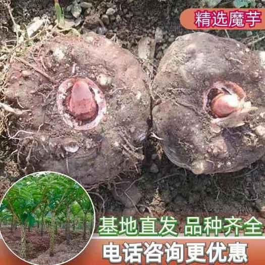 魔芋种子,一代二代魔芋种子,全国发货,免费技术,签回收合同