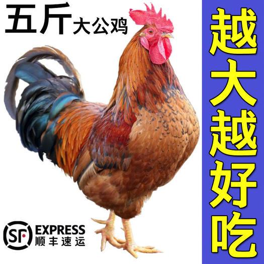 土鸡  【活鸡现杀黑脚大公鸡】山东农家散养公鸡正宗整只走地鸡笨鸡新鲜