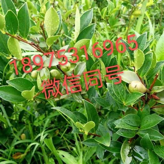 油茶树苗  湘林系列,长林系列油茶杯苗,见钱就卖。
