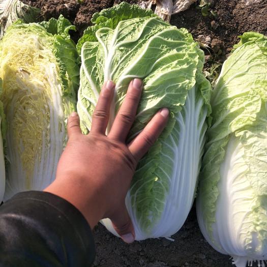 矮白菜  精品大白菜