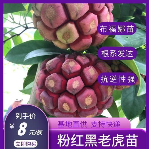 粉红黑老虎苗  布福娜,黑老虎,特色水果,