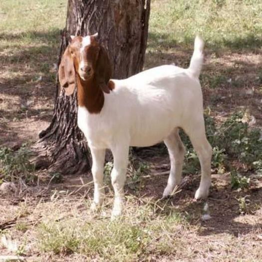波尔山羊,优质高产波尔山羊种公种母羊头胎怀孕母羊