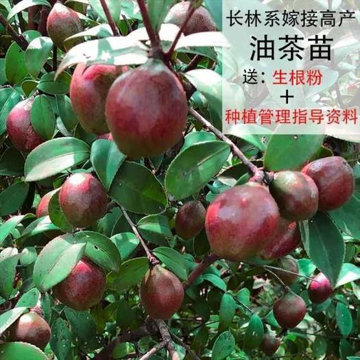 油茶树  长林系列嫁接油茶苗,实力展示图,大基地有保障。